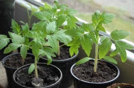 Подготовка рассада томатов - основные этапы